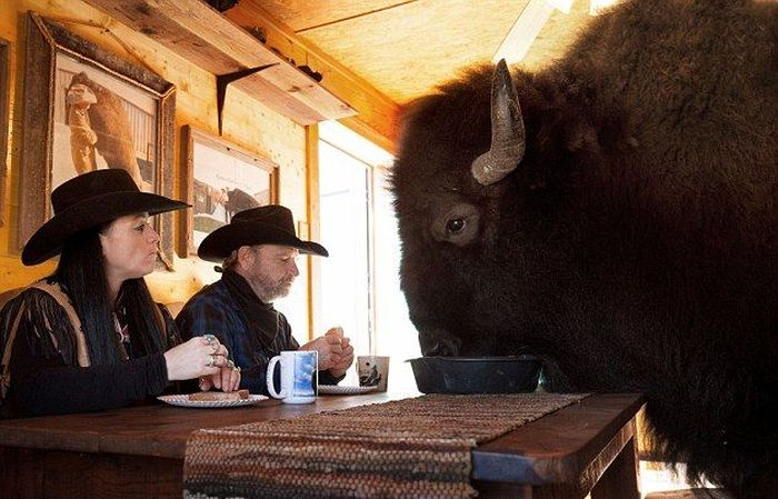this-texas-couple-has-a-bison-in-their-house-1