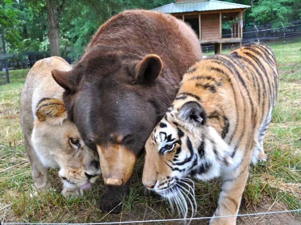 Необычная-дружба-льва-тигра-и-медведя-1-960x719