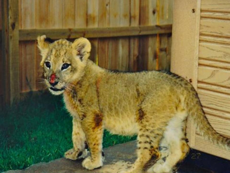 Необычная-дружба-льва-тигра-и-медведя-9-960x720