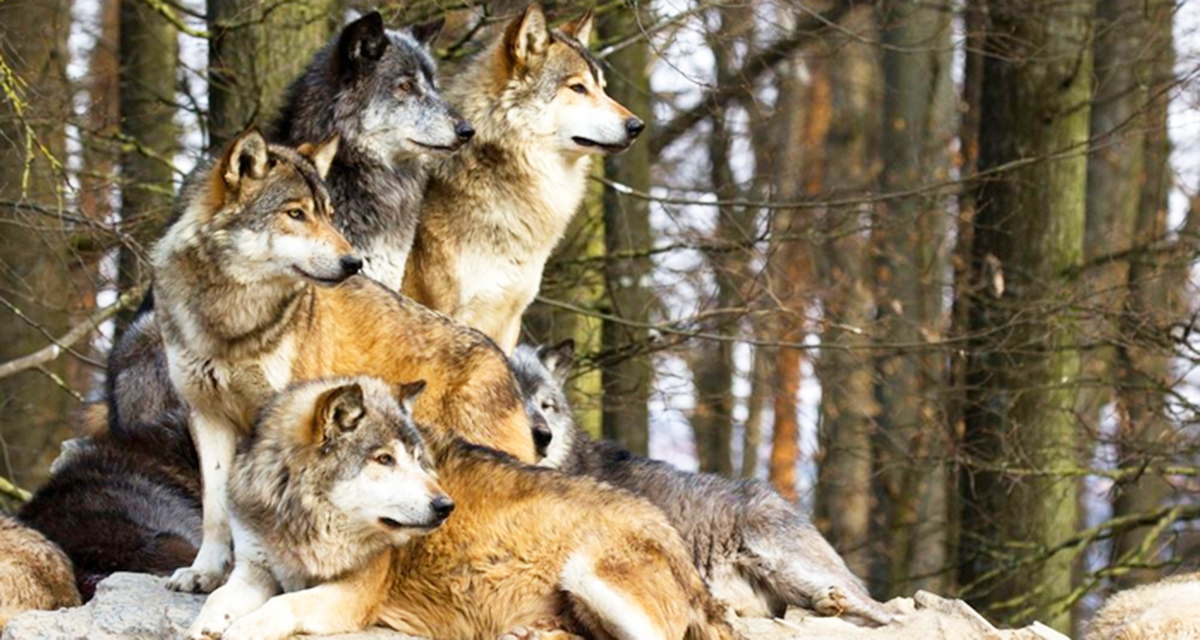 Беременная волчица самый опасный зверь 374