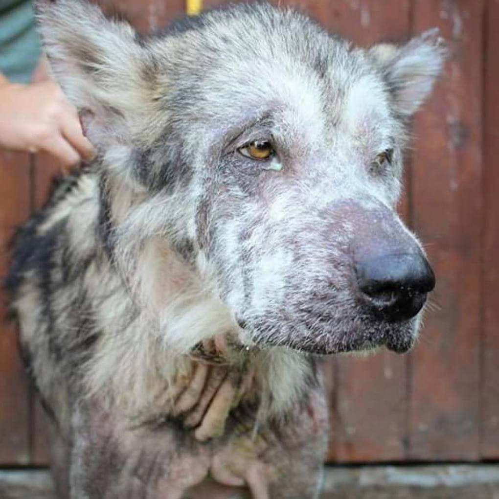 Когда собаку забрали у плохих хозяев, в ней невозможно было узнать красавца маламута