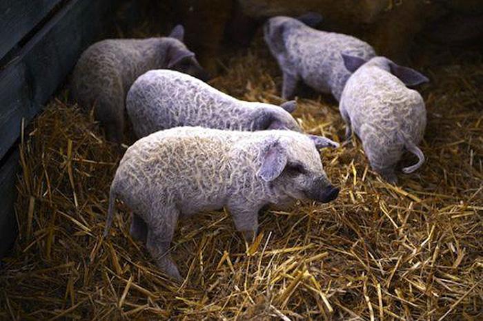 пушистые свиньи похожие на овец