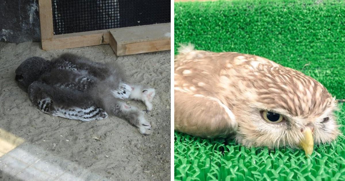 Пользователи сети обнаружили, что совята спят лицом вниз, и их ...