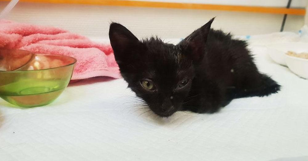 Хозяева нашли эту кошечку по объявлению и целый год боролись за её жизнь. Выросла настоящая красотка
