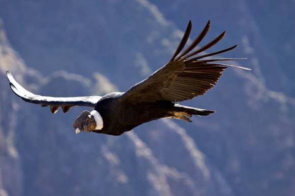 Птица Кондор – самая крупная летающая птица западного полушария ...