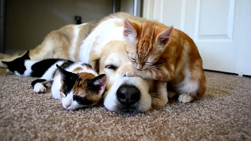 Какие собаки лучше всего уживаются с кошками: породы собак, которые хорошо ладят с кошками